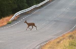 Car hit deer